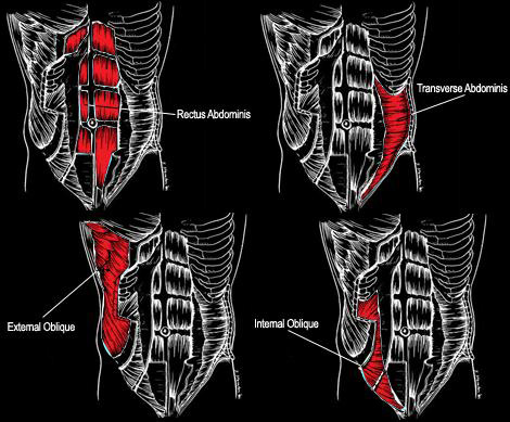 Abs-Muscle-Anatomy