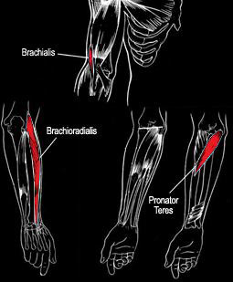 Forearms-Muscle-Anatomy